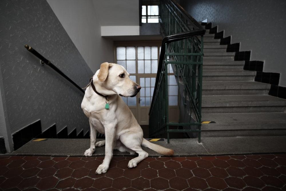 Golden lab sitting in the stairwell