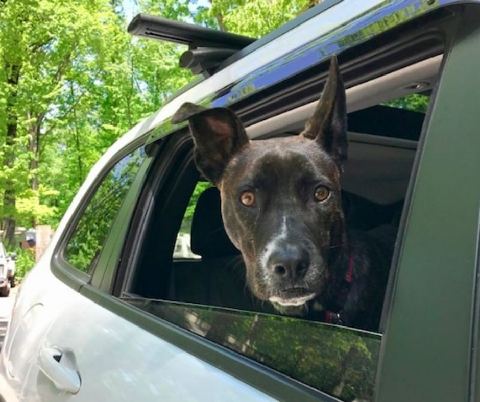Dog with head outside of car window