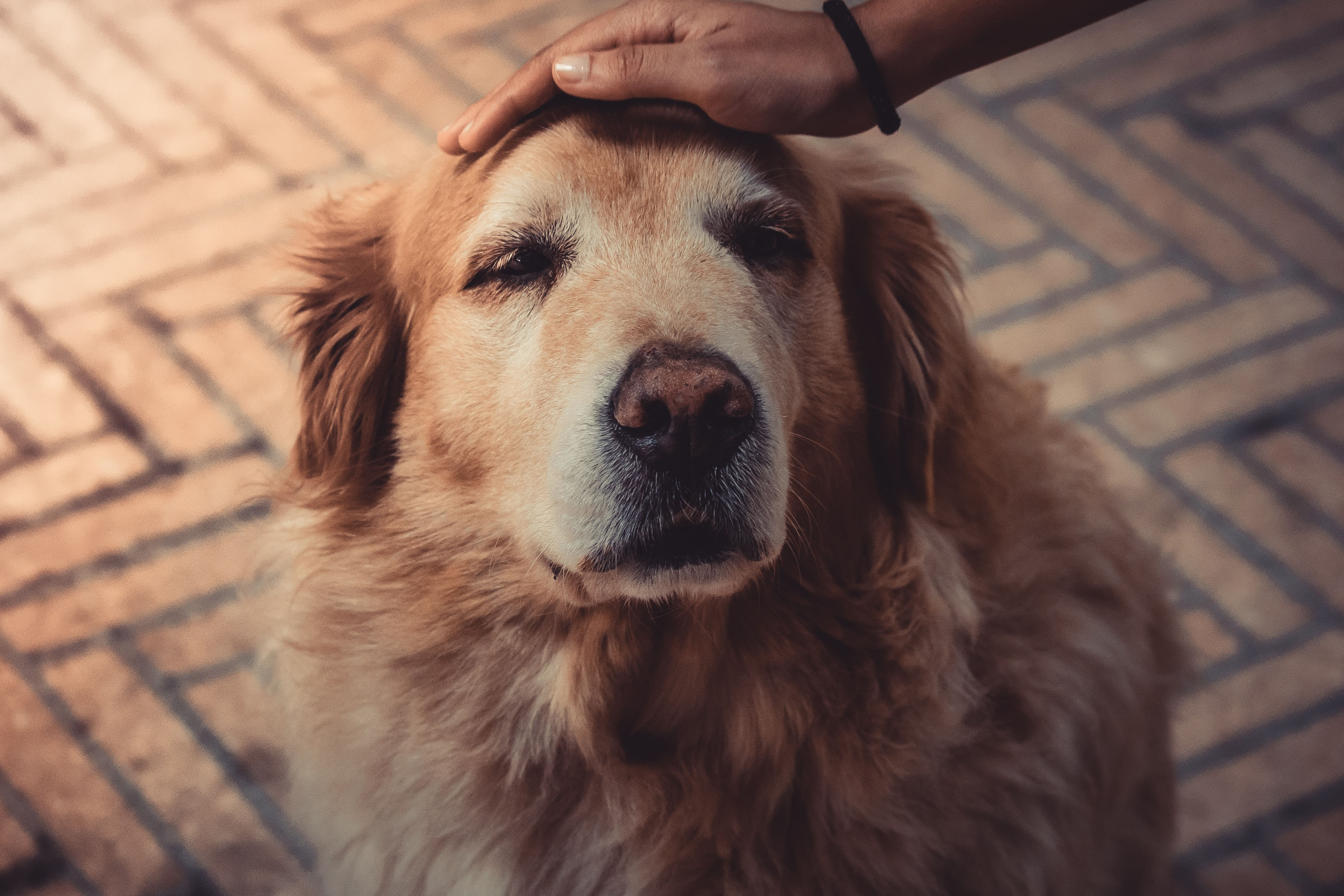 Old Golden Retriever receiving pets on the head